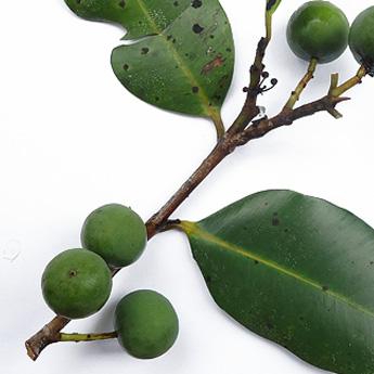 huile-calophylle.jpg